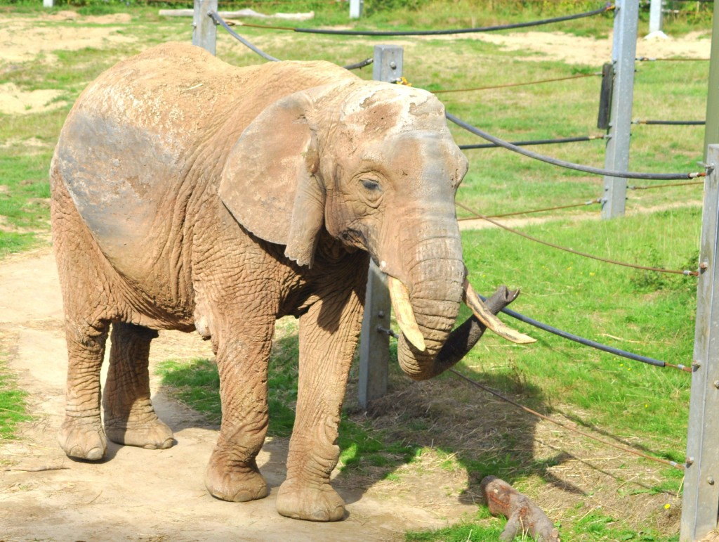 elephant shades